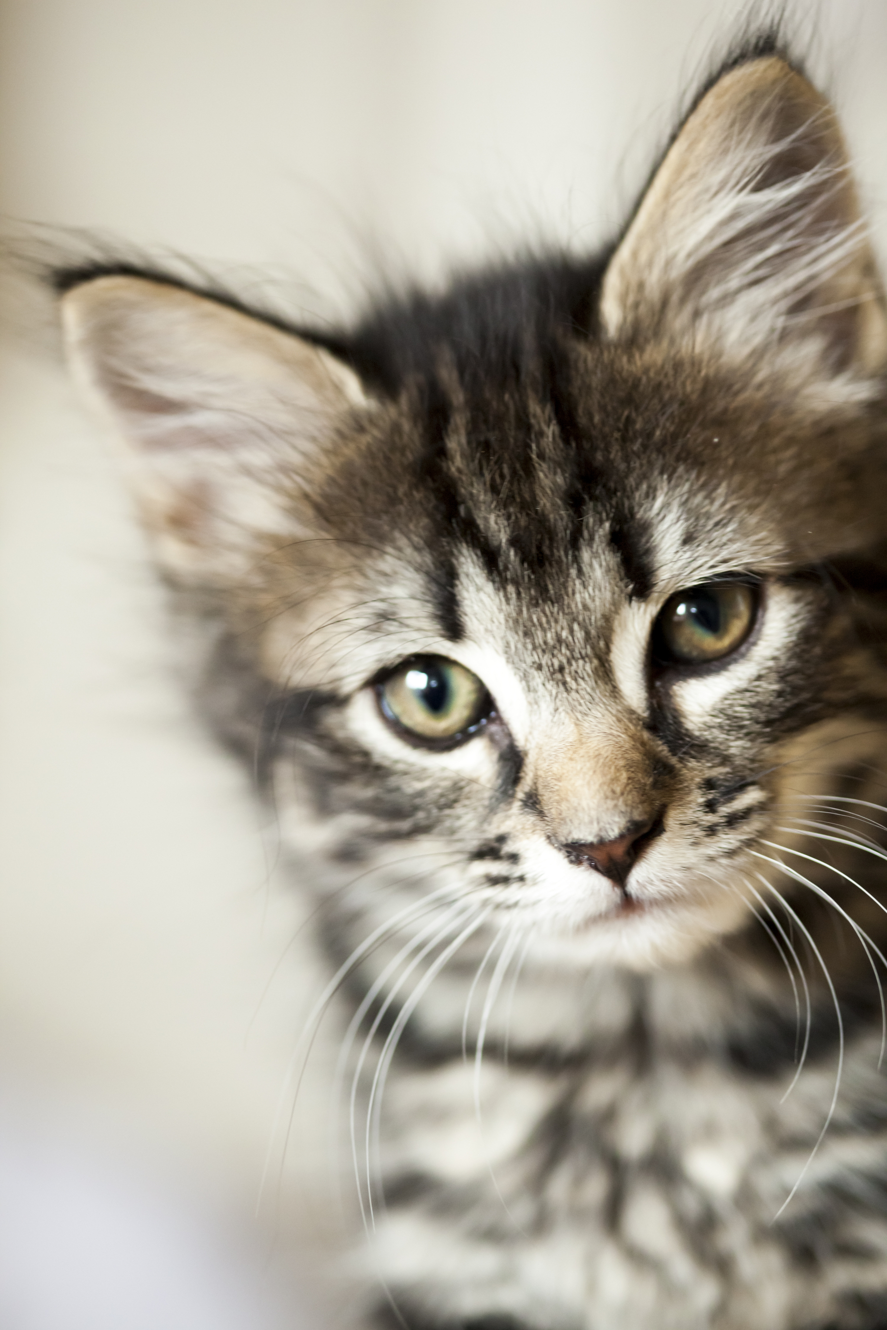 Cute little kitten looking straight at camera. Shallow DOF, natural light